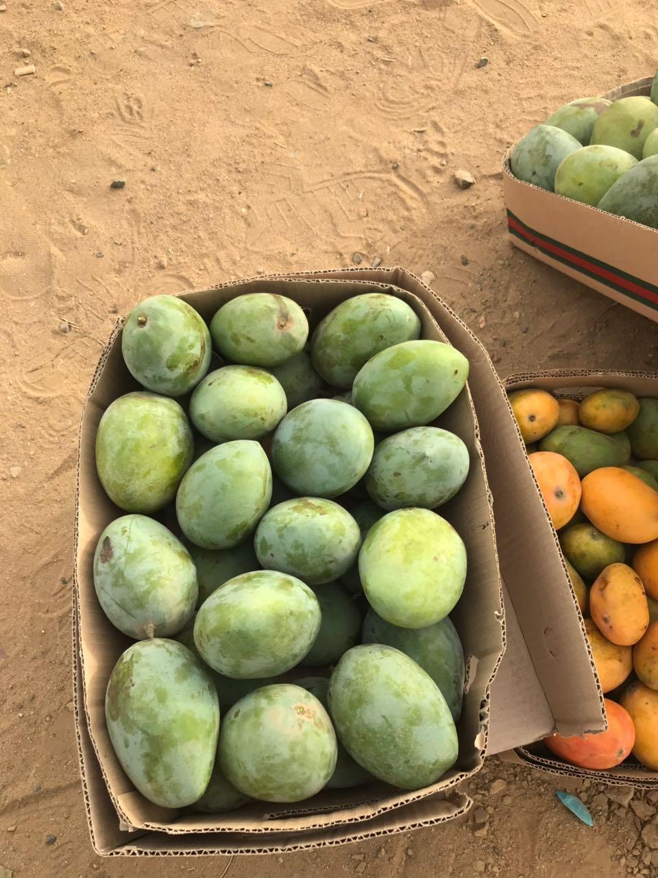 """""""المواطن"""" ترصد انتعاش أسواق المانجو الجيزاني في رمضان.. وهذه أشهر الأنواع - المواطن"""