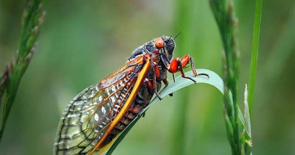حشرات الزيز تستعد لغزو 15 ولاية أمريكية