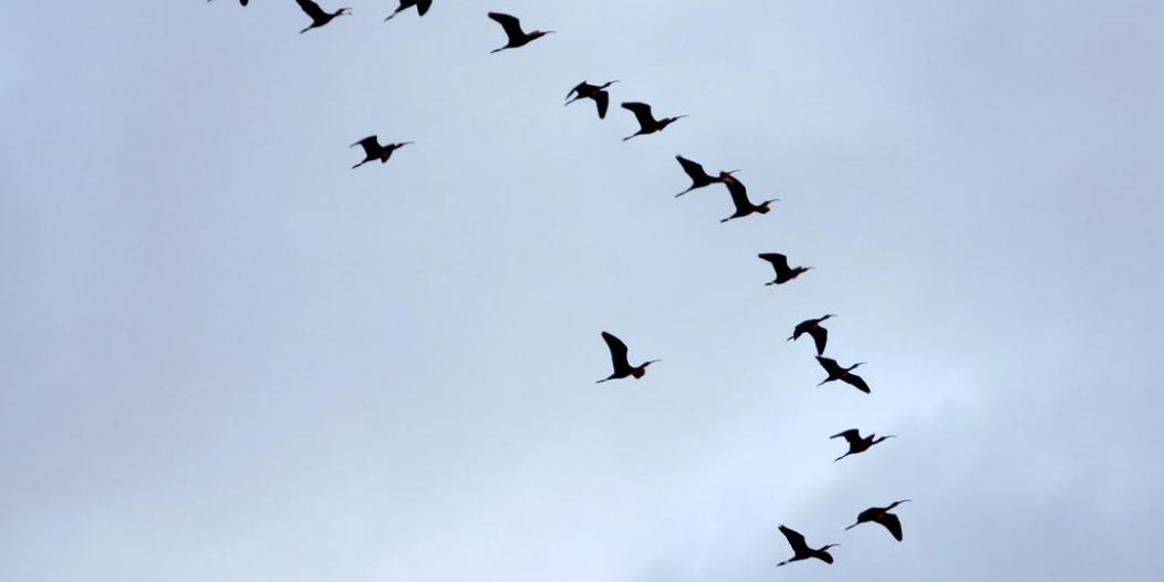 80 % من الطيور المهاجرة تتعرض لخطر الانقراض