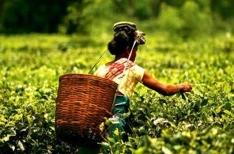 وباء كورونا في الهند يؤثر على أسعار الشاي !
