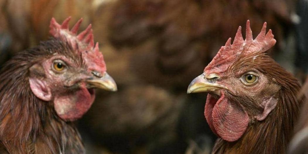 الصين تسجل أول إصابة بشرية بـ إنفلونزا الطيور