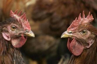إنفلونزا الطيور يتفشى في العراق