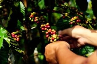 كارثة في البرازيل قد تحرمك من فنجان القهوة والسكر (3)