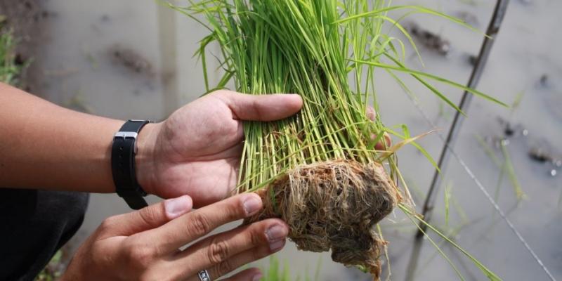 مصر تنجح في زراعة الأرز الجاف لمواجهة أزمة المياه (1)