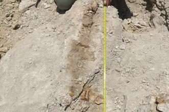 اكتشاف بقايا حوت منقرض منذ 37 مليون سنة شمال السعودية - المواطن