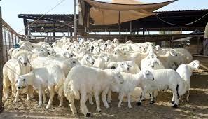 تعرف على أسعار الأغنام في سوق الماشية في ينبع - المواطن