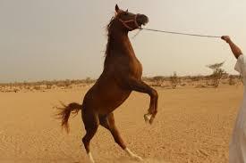 العنبر: ضرب الحصان ليس من أساسيات العسف - المواطن