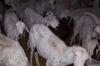مطبخ شعبي يذبح الأغنام الهزيلة في خميس مشيط - المواطن