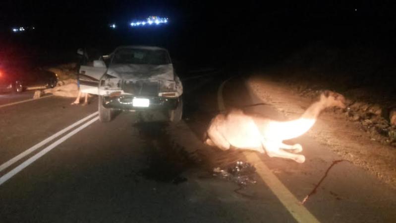 نجاة سائق من موت محقق لاصطدامه بقطيع إبل بهروب #جازان5