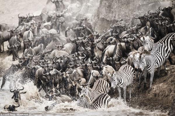 بالصور... موسم هجرة الحُمُر الوحشية بين الغابات في كينيا - المواطن