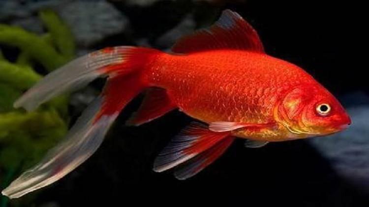 اكتشاف لغز مخيف لدى أسماك الزينة