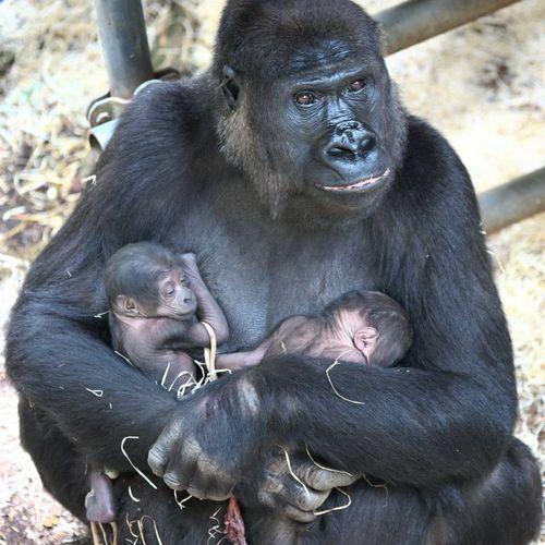 حديقة حيوان هولندية تحتفل بولادة توأمي غوريلّا - المواطن