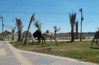 توضيح حول الحديقة المحولة لحظيرة إبل في خميس مشيط يكشف مفاجأة! - المواطن