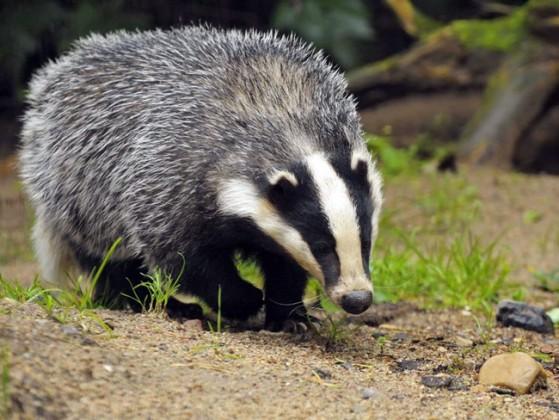 Badger الغرير