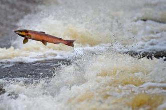اكتشاف فيروس خطير في سمك السلمون - المواطن