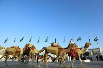 رشاقة الإبل عنصر إبهار يجذب زوّار مهرجان الملك عبدالعزيز - المواطن