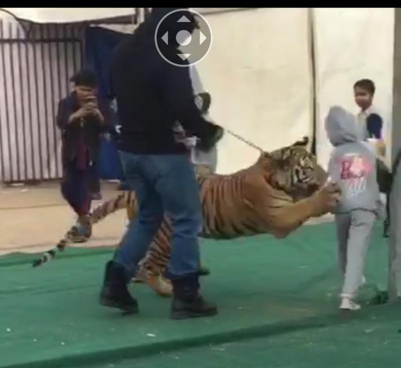 نمر يهاجم فتاة في سكاكا