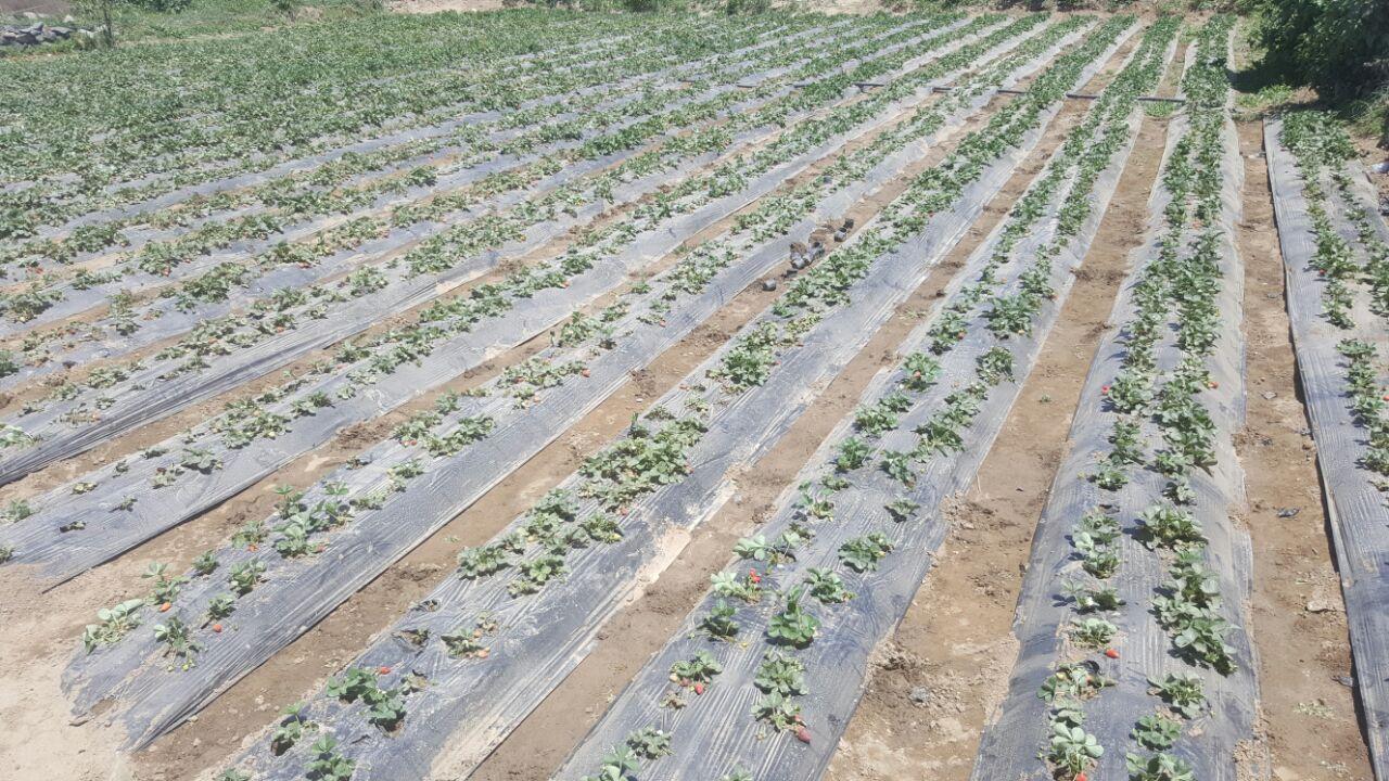مزارع الفراولة أبها.. إنتاج وفير
