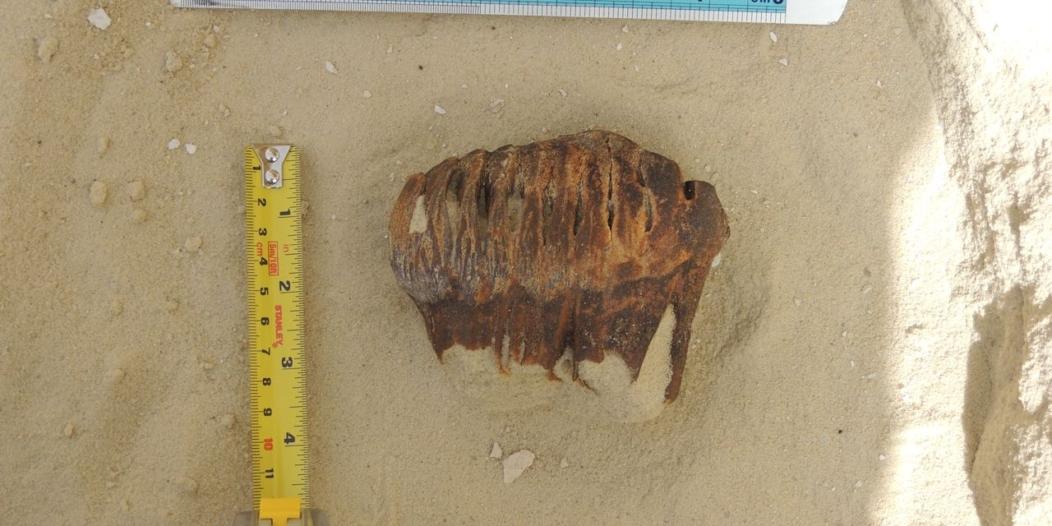 بالصور.. اكتشاف بقايا فيل صغير بصحراء النفود