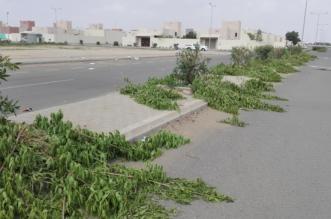 """بالفيديو والصور.. """"المواطن"""" توثق تناثر بقايا أشجار الزينة في شوارع صامطة - المواطن"""