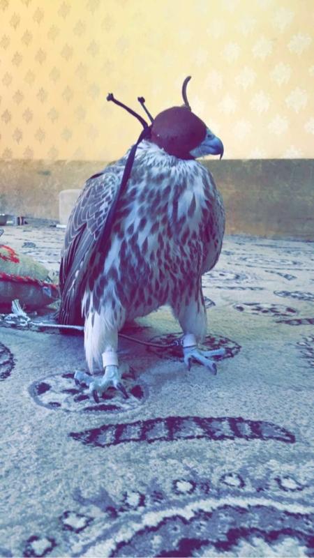 بالصور.. 4 مواطنين يصطادون طير حر ويبيعونه بـ 100 ألف ريال في رفحاء