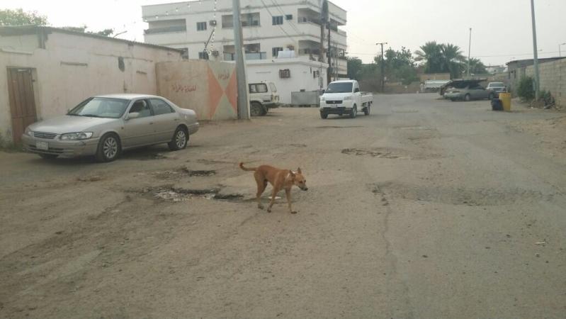 آثار الحادث شاهدة على تقصير الأمانة.. كلابٌ ضالة تهاجم طفلةً في سكاكا!