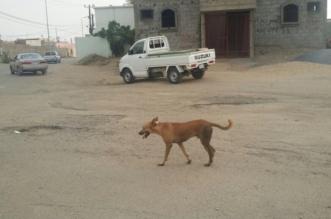 الكلاب الضالة تتربص بأهالي أحد المسارحة والبلدية تتحرّك لتسميمها - المواطن