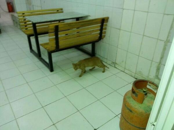 قطه في بوفيه  مطاعم