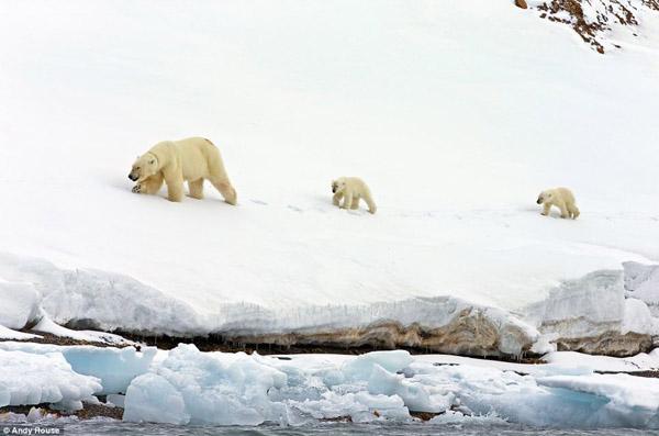 بالصور.. عائلة من الدببة تكافح وسط الجليد بحثاً عن الحياة - المواطن