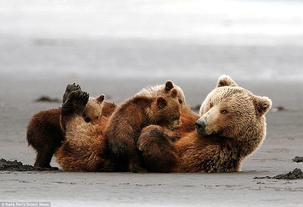 بالصور.. الدبة الأم تحمي أطفالها من البرد والأمطار بجسدها - المواطن