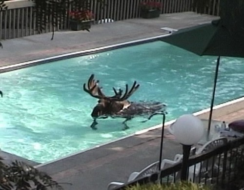 Moose in a swimming pool