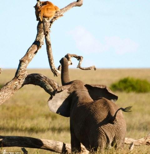 بالصور ... أنثى أسد تعلق بشجرة للهروب من فيل غاضب - المواطن