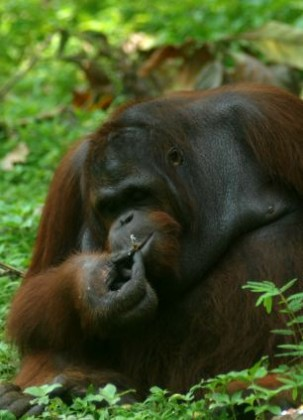 Orangutan Smoking In Indonesia