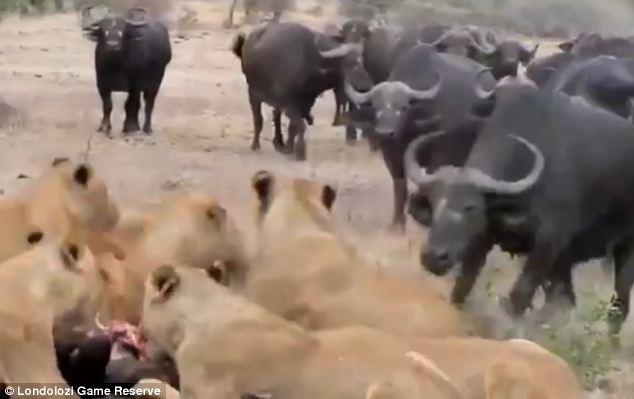 بالصور.. قطيع من الجاموس يحاول إنقاذ عجل صغير من براثن الأسود - المواطن