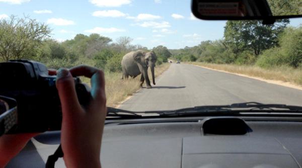 بالفيديو.. فيل ضخم يهاجم سيارة سياح بجنوب إفريقيا - المواطن