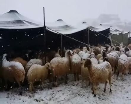 شاهد.. الثلوج تغطي الجمال والأغنام بالشمالية - المواطن