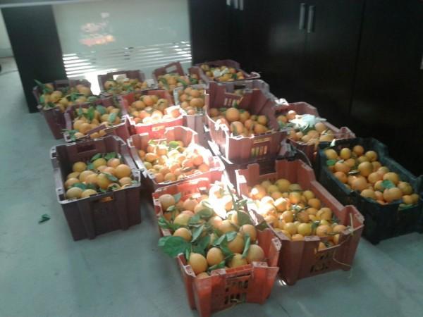 ديدان في 25 كرتونا من فاكهة اليوسفي بالعويقيلة - المواطن