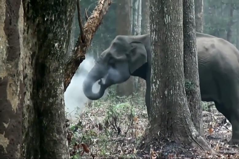 بالفيديو.. أول فيل مدخن في التاريخ يثير حيرة العلماء