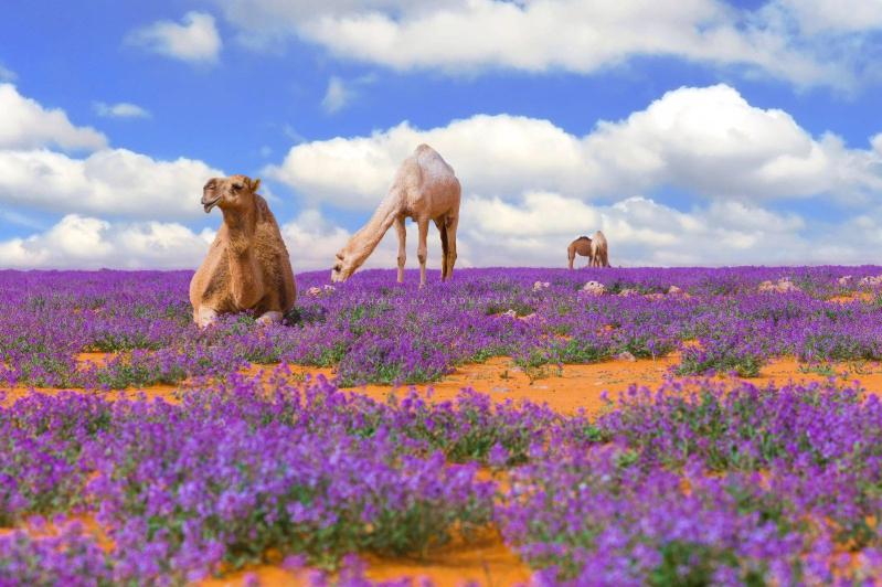 جمال زهور الخزامى جنوب رفحاء